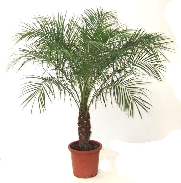 Картинки по запросу Карликовая финиковая пальма